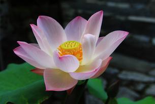京都 お寺に咲く蓮の花の写真素材の写真素材 [FYI04562752]