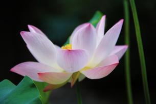 京都 寺院に咲く蓮の花の写真素材の写真素材 [FYI04562753]