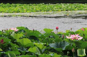 京都 大覚寺 大沢の池の蓮の花の写真素材の写真素材 [FYI04562754]