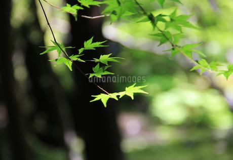 京都の新緑 青もみじの写真素材 の写真素材 [FYI04562772]