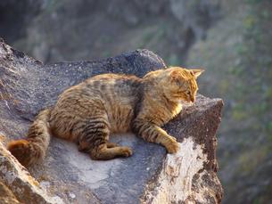 ギリシャ サントリーニ島の岸壁の猫の写真素材 [FYI04562856]