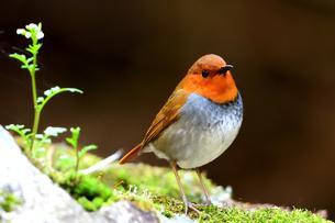 可愛い野鳥 コマドリの写真素材 [FYI04562892]