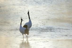 タンチョウの鳴き合い(北海道・鶴居村)の写真素材 [FYI04562952]