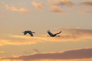 朝焼けの空を飛ぶタンチョウ(北海道・鶴居村)の写真素材 [FYI04562966]