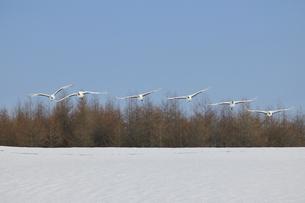 雪原を飛ぶタンチョウの群(北海道・鶴居村)の写真素材 [FYI04562991]