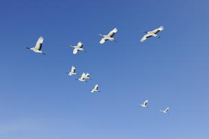 青空を飛ぶタンチョウの群(北海道・鶴居村)の写真素材 [FYI04563000]