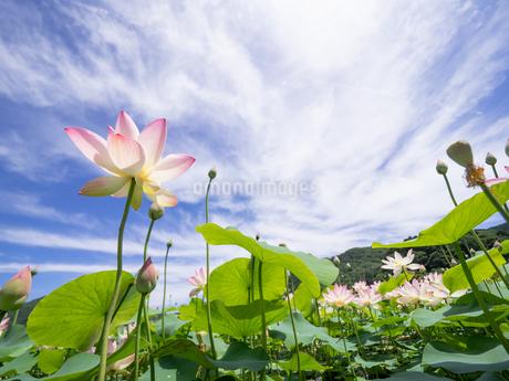 梅雨の晴れ間とハスの花の写真素材 [FYI04563317]