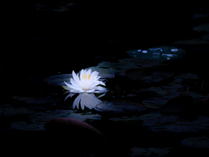 純白の睡蓮の写真素材 [FYI04563319]