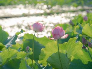 夕日で煌めく蓮の花の写真素材 [FYI04563332]