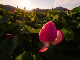 夕日に照らされる合蓮華の写真素材 [FYI04563333]