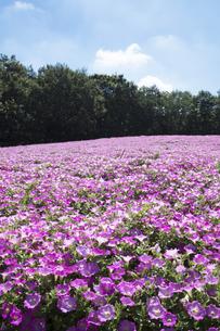 ペチュニアの花畑の写真素材 [FYI04563525]