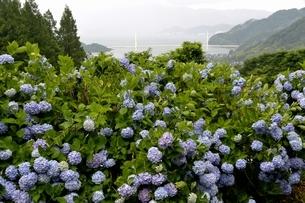 舞鶴自然文化園,アジサイ園と舞鶴湾の写真素材 [FYI04563632]