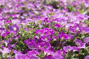 ペチュニアの花畑の写真素材 [FYI04563659]