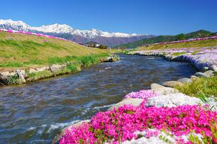 仁科三山など北アルプスの山並みと農具川河川公園のシバザクラの写真素材 [FYI04563800]