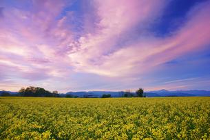 中込の菜の花畑と朝焼けと御座山方向の山並みの写真素材 [FYI04563853]