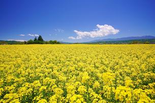 中込の菜の花畑と八ケ岳方向の山並みの写真素材 [FYI04563874]