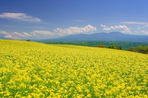 滋野甲の菜の花畑と八ケ岳方向の山並みの写真素材 [FYI04564055]