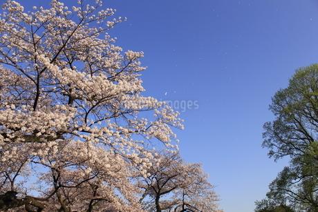 桜2の写真素材 [FYI04564069]