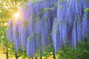 カバンの藤と夕日の木もれ日の写真素材 [FYI04564081]