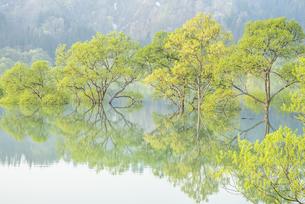 白川湖の水没林の写真素材 [FYI04564426]