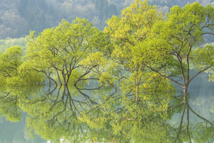 白川湖の水没林の写真素材 [FYI04564480]