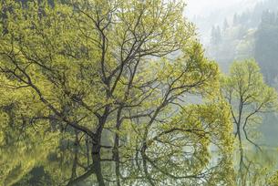 白川湖の水没林の写真素材 [FYI04564495]