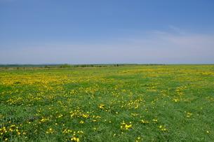 タンポポ咲き誇る原野と青空の写真素材 [FYI04564518]