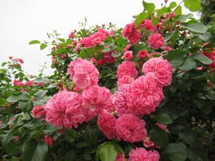 五月の薔薇の写真素材 [FYI04564570]