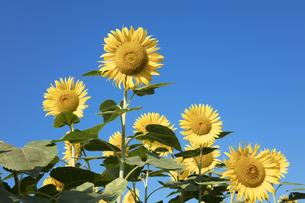 ヒマワリの花の写真素材 [FYI04564766]