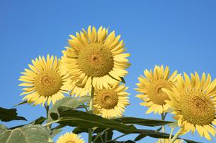 ヒマワリの花畑の写真素材 [FYI04564770]