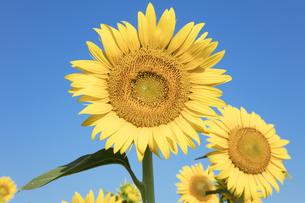 ヒマワリの花の写真素材 [FYI04564781]