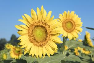 ヒマワリの花の写真素材 [FYI04564782]