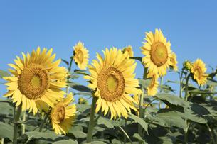 ヒマワリの花の写真素材 [FYI04564795]