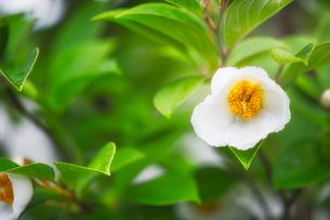 ナツツバキの花の写真素材 [FYI04564801]