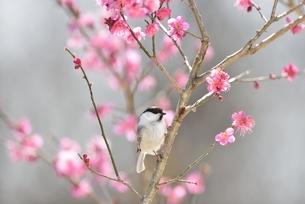紅梅と小鳥(コガラ)の写真素材 [FYI04564835]