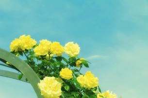 黄色のバラと空の写真素材 [FYI04564880]