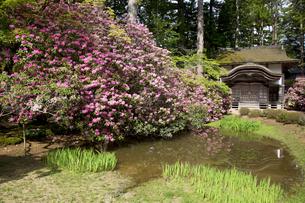 シャクナゲ咲く高野山金剛峯寺の写真素材 [FYI04565142]