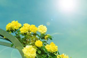 黄色のバラと光の写真素材 [FYI04565144]