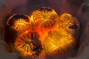 七輪の中で燃える炭の写真素材 [FYI04565240]
