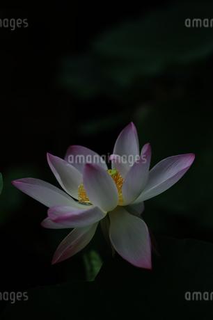 蓮 花写真素材の写真素材 [FYI04565451]