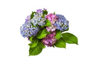白バックの紫陽花の写真素材 [FYI04565535]