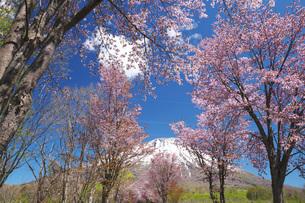 羊蹄山と桜の写真素材 [FYI04565621]