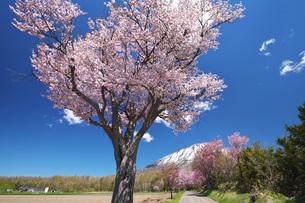 羊蹄山と桜の写真素材 [FYI04565622]