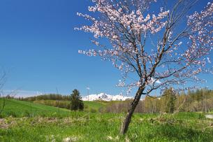 春よ来いの一本の木と夕張山地と桜の写真素材 [FYI04565647]