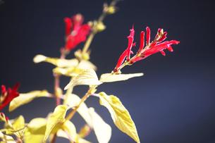 サルビア・エレガンスの赤い花の写真素材 [FYI04565900]