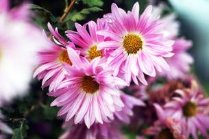 寒菊の花の写真素材 [FYI04565909]