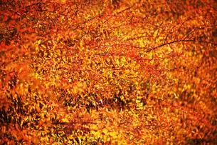 ユキヤナギの紅葉の写真素材 [FYI04565910]