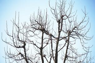 冬空にコブシの裸木の写真素材 [FYI04565914]