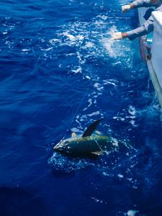 沖縄県の久米島 パヤオでキハダマグロ釣りの写真素材 [FYI04566156]