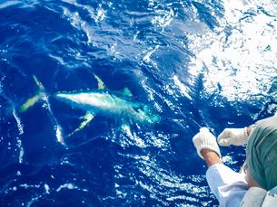 沖縄県の久米島 パヤオでキハダマグロ釣りの写真素材 [FYI04566164]